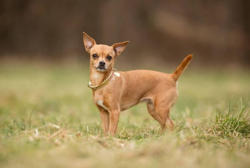Brilliant Chihuahua Dog Stand On Park