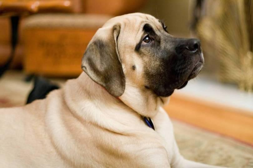 Brilliant English Mastiff Dog Picture With Sad Mood