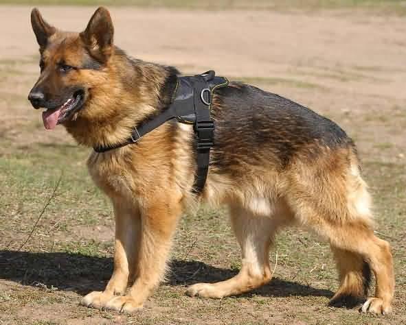 Brilliant German Shepherd Dog Walk In Garden