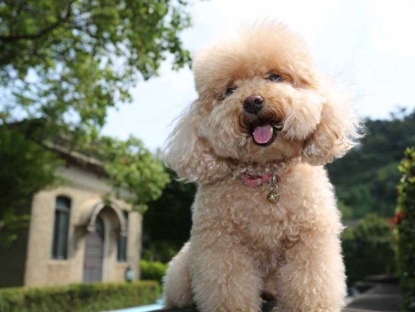 Brilliant Poodle Dog Pup Photo With Beautiful Background