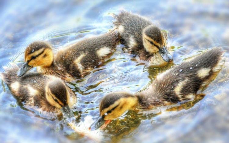 Bunch Of Ducks Looks Good Wallpaper