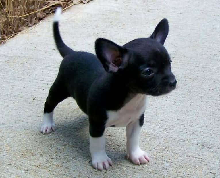 Charming Black Chihuahua Dog Baby Picture Stand On Road