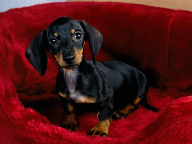 Charming Dachshund Dog Sitting On Sofa