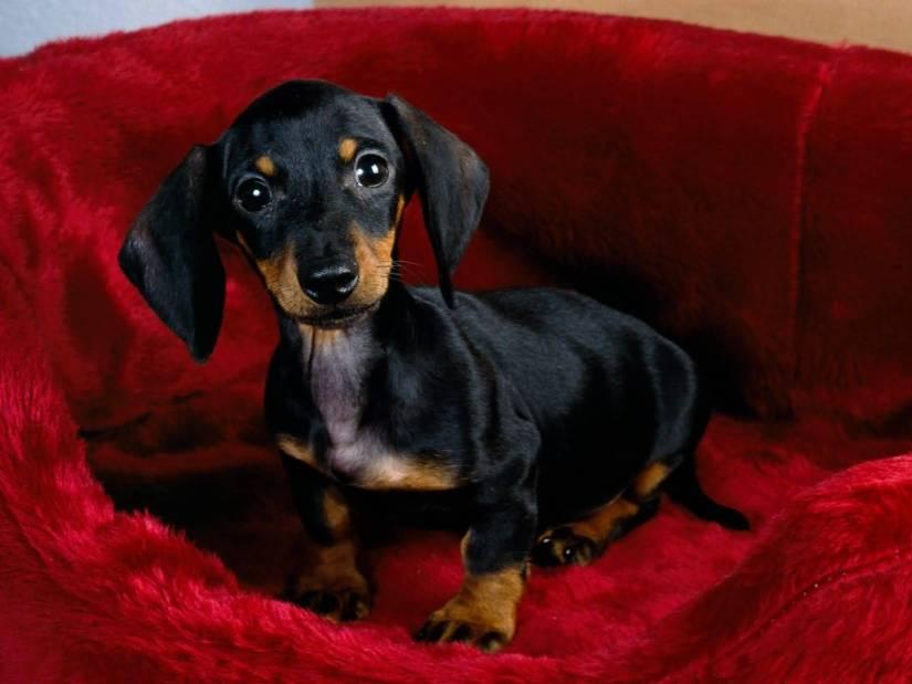 Charming Dachshund Dog Sitting On Sofa