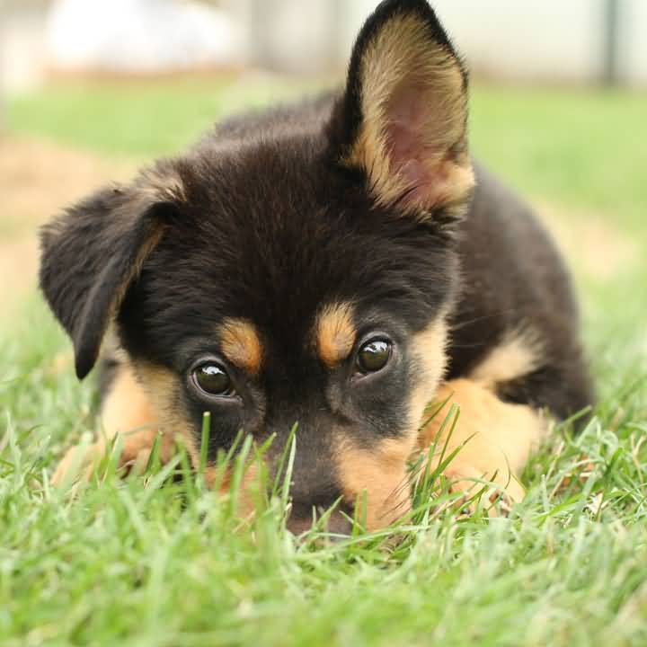 Charming German Shepherd Dog Pup In Garden