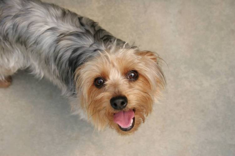 Charming Yorkshire Terrier Dog Looking At You
