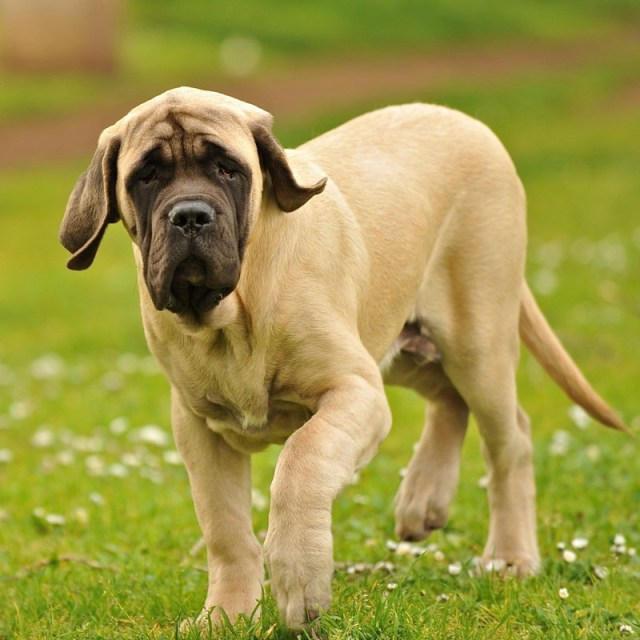 Cool English Mastiff Baby Standing In Park