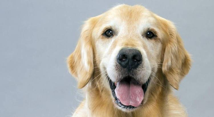 Cool Golden Retriever Dog Looking At You