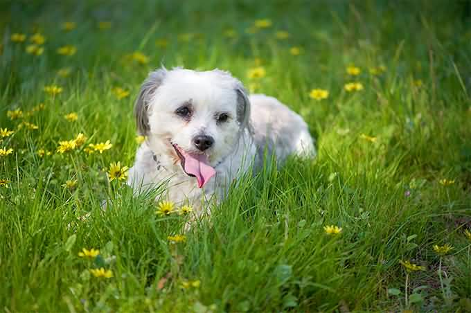 Cool Shih Tzu Dog Playing In Park