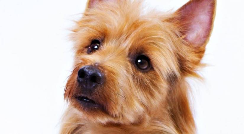 Cool Yorkshire Terrier Dog With White Background