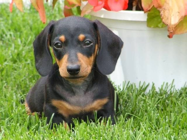 Coolest Dachshund Dog Sitting In Garden