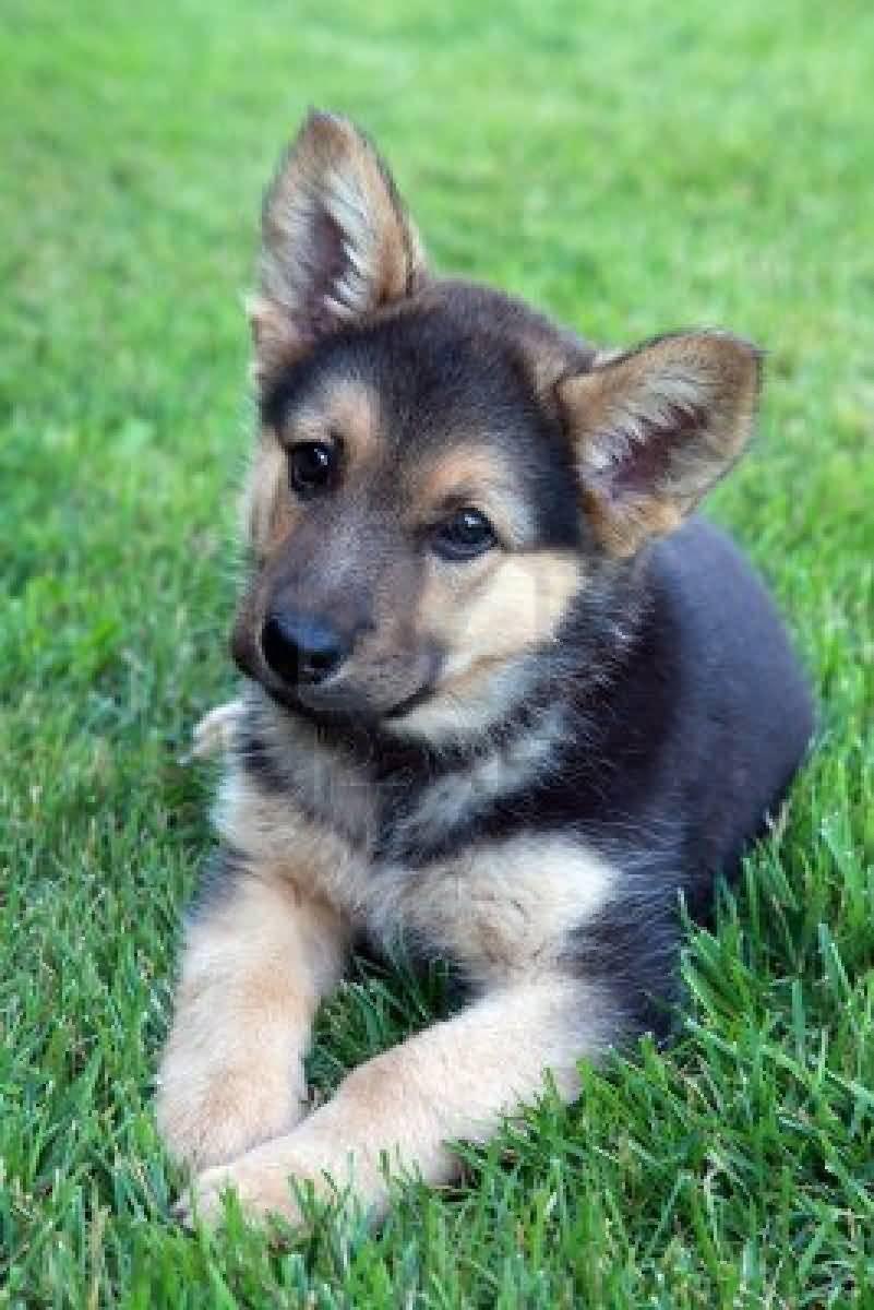 Coolest German Shepherd Dog Pup In Garden With Beautiful Background