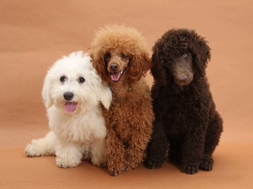 Coolest Poodle Dog Puppies Sitting On Floor
