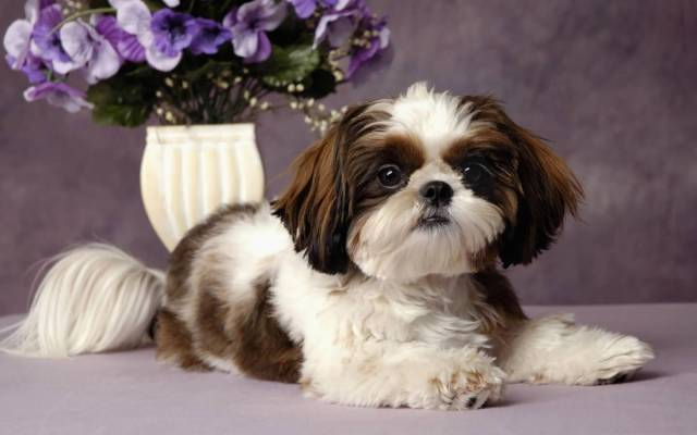 Coolest White Shih Tzu Dog In Home