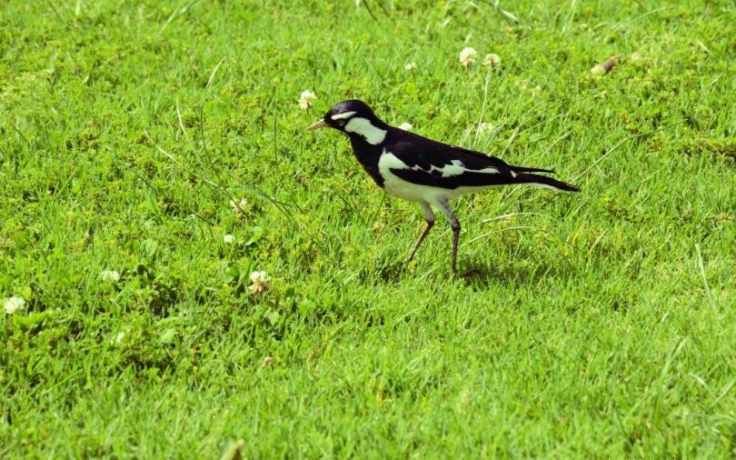 Cute Black Color Bird Finding Something In Grass