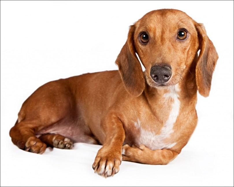 Cute Brown Face Image Dachshund Dog Sitting On Floor