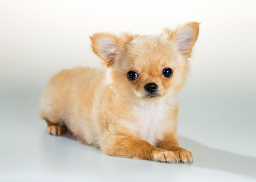 Cute Chihuahua Dog Sitting And Looking At You
