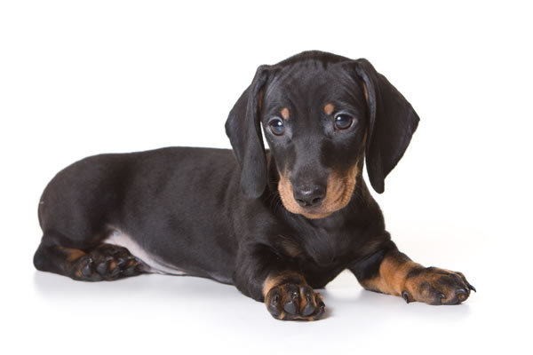 Cute Dachshund Dog Sitting On Floor