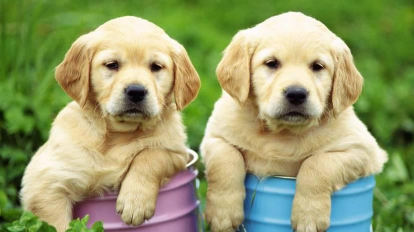Cute Golden Labrador Retriever Pups With Beautiful Background