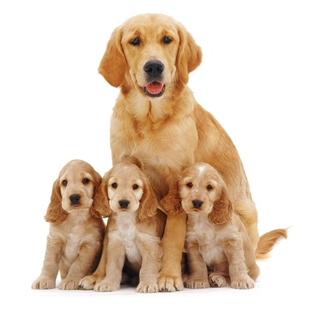 Cute Golden Retriever Dogs Standing On Floor