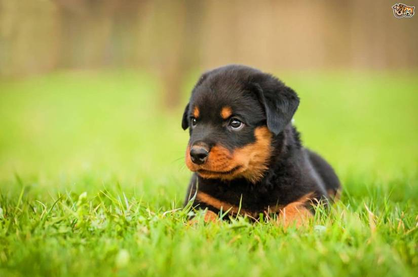 Cute Rottweiler Dog Pup On Grass With Beautiful Background