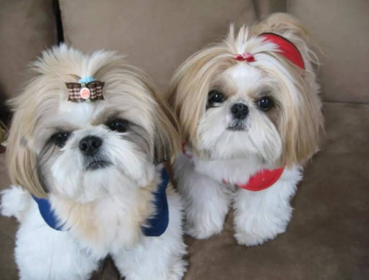 Cute Tiny Shih Tzu Toy Dog Looking At You