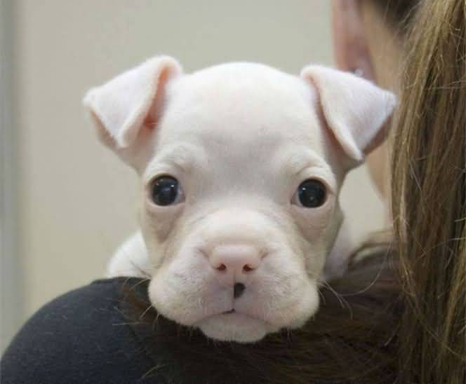 Cute White Boxer Dog Looking At You With Black Eyes