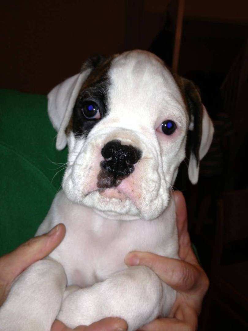 Cute White Boxer Dog With Blue Eyes In Boys Hand