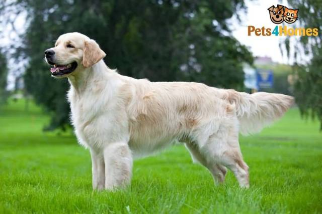 Cute White Golden Retriever Dog On Grass With Beautiful Background