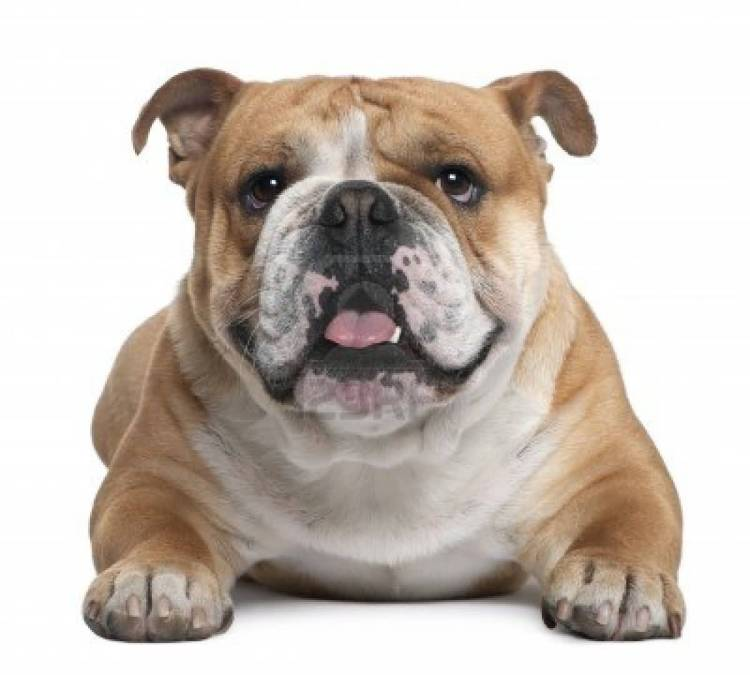 Fabulous Brown And White Mix Bulldog Face With White Background