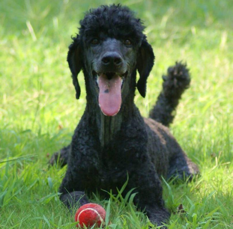 Fabulous Black Poodle Dog With Beautiful Background