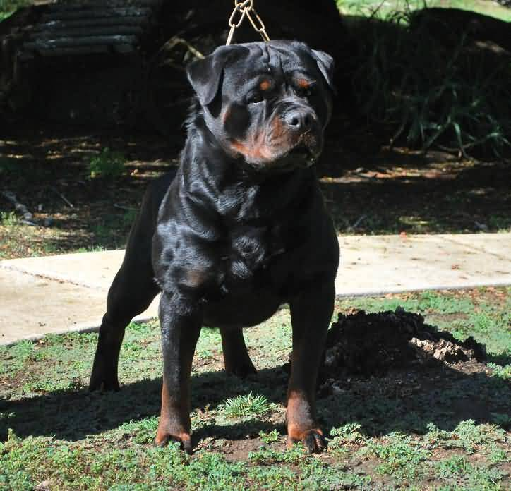 Fabulous Black Rottweiler Dog Stand In Park