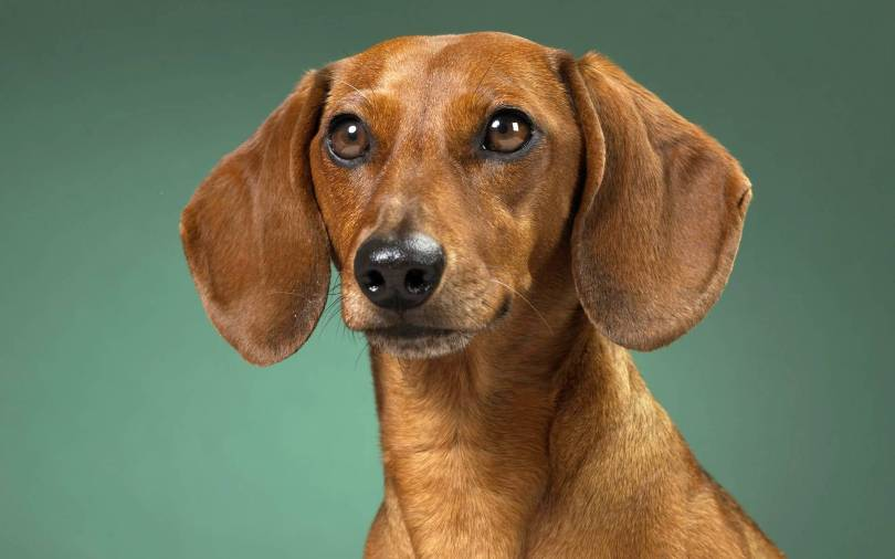 Fabulous Brown Dachshund Dog Face Photo For Wallpaper