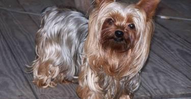 Fabulous Yorkshire Terrier Dog For Wallpaper