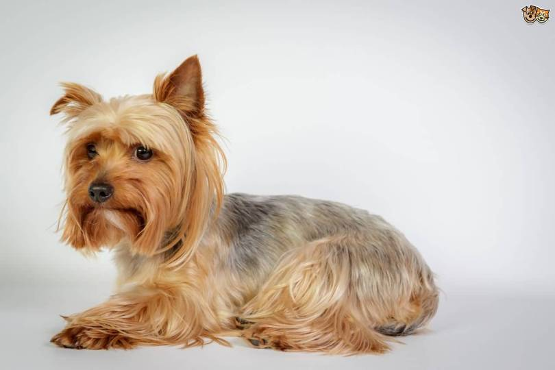Fabulous Yorkshire Terrier Dog Sitting On Floor