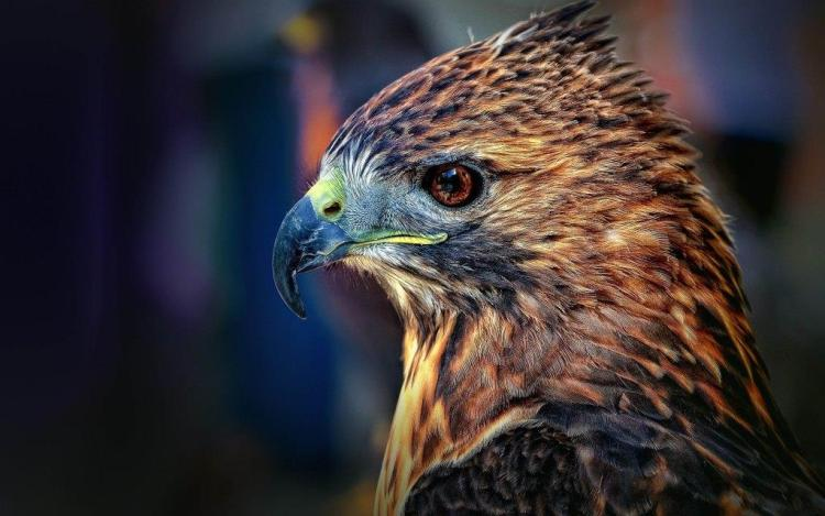 Face Of Brown Color Eagle Wallpaper In Hd