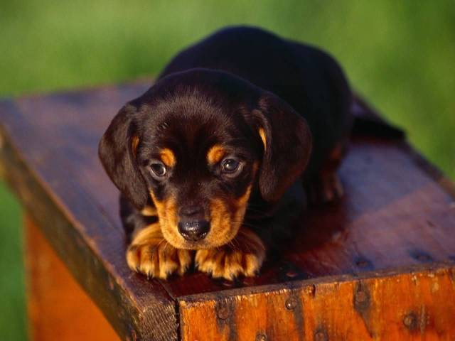 Fantastic Brown Dachshund Dog Sitting On Bench