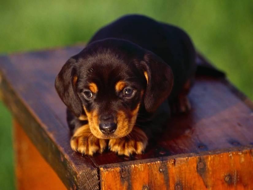 Fantastic Brown Dachshund Dog Sitting On Bench