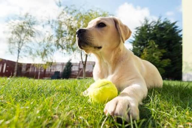 Fantastic Labrador Retriever Dog Sitting In Garden