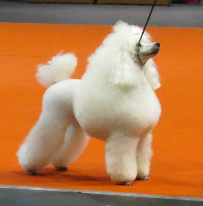 Fantastic White Toy Poodle Dog On Floor