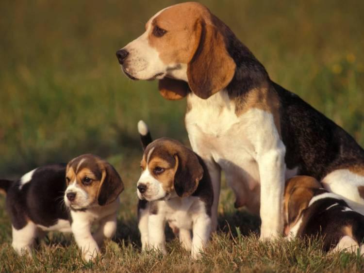 Full Family Image Of Beagle Dogs