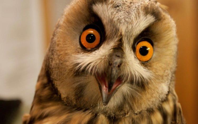 Funny Wallpaper Of A Owl