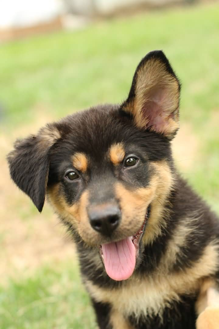 Incredible German Shepherd Baby Pup With Beautiful Background