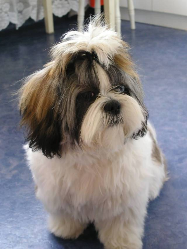Incredible Shih Tzu Dog In Home