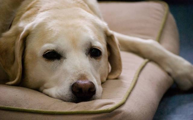 Incredible White Lazy Labrador Retriever Dog Laying On Bed