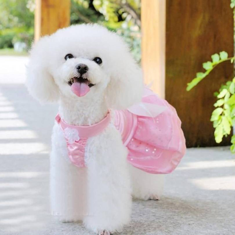 Incredible White Toy Poodle Dog In Home