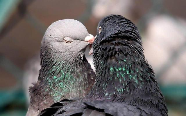 Love Birds Kissing Each Other