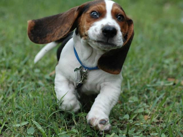 Lovely Beagle Dog Baby Running On Green Garden