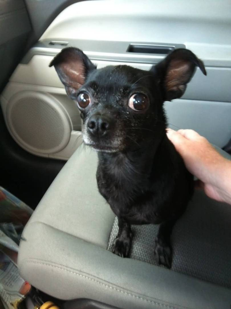 Lovely Black Chihuahua Dog Sitting In Car Seat Image For Wallpaper