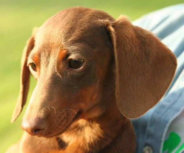 Lovely Brown Dachshund Dog Photo For Wallpaper